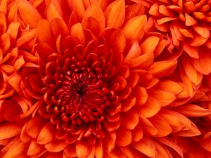 مجله خبری ایشومر Chrysanthemum-1-300x225 chrysanthemum