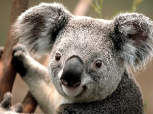 مجله خبری ایشومر Koala-300x225 koala