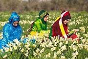 پنجمین جشنواره گل نرگس شهرستان کازرون استان شیراز 21 بهمن ماه 1395