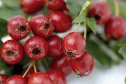زالزالک و  خواص ضد سرطانی آن در میوه درمانی