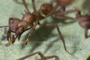 ساخت منحصربفردترین آنتیبیوتیک توسط مورچه ها