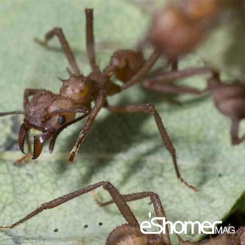 مجله خبری ایشومر Mnhsrbfrdtryn-antibiotics-ants ساخت منحصربفردترین آنتیبیوتیک توسط مورچه ها سبک زندگي سلامت و پزشکی  سلامت سبک زندگی پزشکی آنتی بیوتیک ها