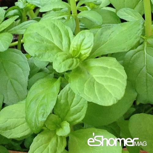 مجله خبری ایشومر شناخت-انواع-سبزیجات-و-خواص-درمانی-آنها-،-پونه-مجله-خبری-ایشومر شناخت انواع سبزیجات و خواص درمانی آنها ، پونه سبک زندگي میوه درمانی  میوه درمانی گیاهی سبزیجات سبزی خواص درمانی سبزیجات پونه