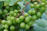 غوره انگور آب غوره و خواص درمانی آن در درمان چاقی