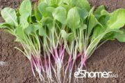 شناخت انواع سبزیجات ، خواص درمانی سبزیجات ، برگ تربچه 3