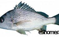 شناخت و نحوه پخت انواع ماهی جنوب در آموزش آشپزی ، ماهی سنگسر