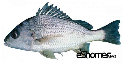 مجله خبری ایشومر شناخت-نحوه-پخت-انواع-ماهی-جنوب-آموزش-آشپزی-ماهی-سنگسر-مجله-خبری-ایشومر شناخت و نحوه پخت انواع ماهی جنوب در آموزش آشپزی ، ماهی سنگسر آشپزی و غذا سبک زندگي  نحوه پخت انواع ماهی ماهی جنوب ماهی سنگسر آموزش آشپزی