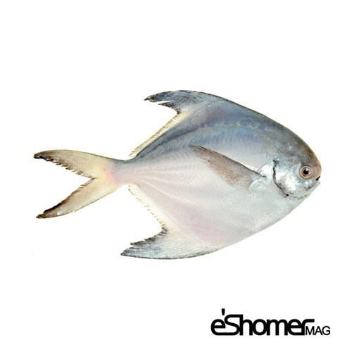 مجله خبری ایشومر شناخت-و-نحوه-پخت-انواع-ماهی-جنوب-در-آموزش-آشپزی،حلوای-سفید-زبیدی-مجله-خبری-ایشومر شناخت و نحوه پخت انواع ماهی جنوب در آموزش آشپزی،حلوای سفید (زبیدی) آشپزی و غذا سبک زندگي  نحوه پخت انواع ماهی ماهی جنوب ماهی زبیدی حلوای سفید آموزش آشپزی