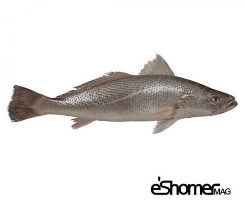 شناخت و نحوه پخت انواع ماهی جنوب در آموزش آشپزی ، ماهی شوریده