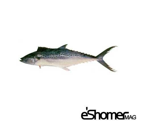 مجله خبری ایشومر شناخت-و-نحوه-پخت-انواع-ماهی-جنوب-در-آموزش-آشپزی-،-ماهی-غباد-مجله-خبری-ایشومر شناخت و نحوه پخت انواع ماهی جنوب در آموزش آشپزی ، ماهی غباد آشپزی و غذا سبک زندگي  نحوه پخت انواع ماهی ماهی جنوب ماهی غباد آموزش آشپزی