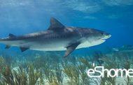 شناخت و نحوه پخت انواع ماهی جنوب در آموزش آشپزی ، ماهی کوسه (بمبک)