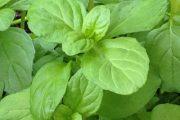 شناخت انواع سبزیجات و خواص درمانی آنها ، پونه