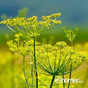 مجله خبری ایشومر گیاه-رازیانه-300x300 تهیه کرم رازیانه به صورت خانگی برای رفع پف صبحگاهی صورت سبک زندگي سلامت و پزشکی  سلامت و پزشکی رفع پف صبحگاهی صورت رازیانه پوست و زیبایی