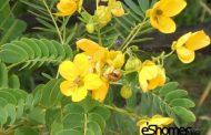 گیاه سنا و خواص درمانی آن در درمان یبوست
