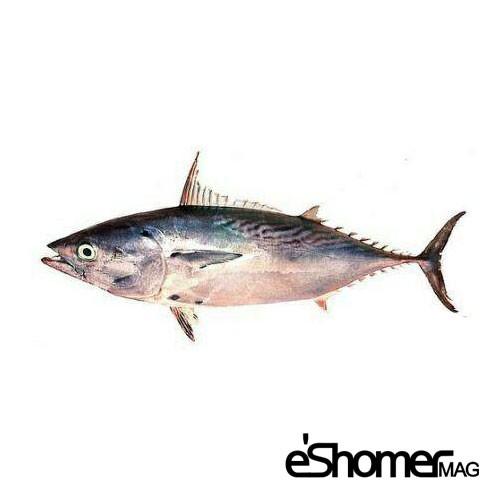 شناخت و نحوه پخت انواع ماهی جنوب در آموزش آشپزی، ماهی زرده و گباب