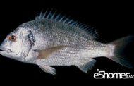 شناخت و نحوه پخت انواع ماهی جنوب در آموزش آشپزی ، ماهی سبیتی