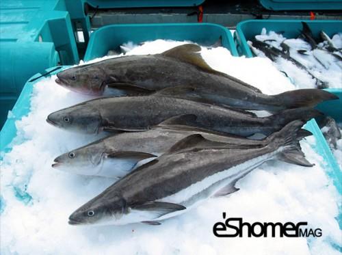 شناخت و نحوه پخت انواع ماهی جنوب در آموزش آشپزی ، ماهی سکن(سوکلا)