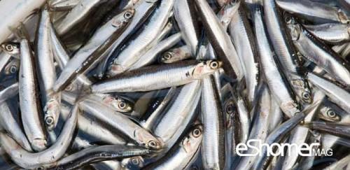 شناخت و نحوه پخت انواع ماهی جنوب در آموزش آشپزی ، ماهی متو