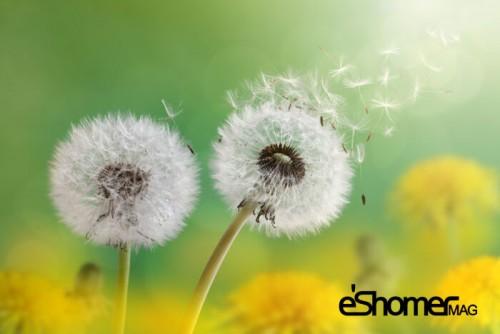 درمان خانگی بیماری کبد چرب با مواد طبیعی ، گیاه قاصدک